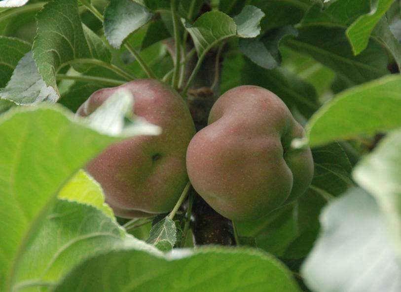 Äpfel für Jedermann - Gemeinsame Ernte auf Klothmanns Hof